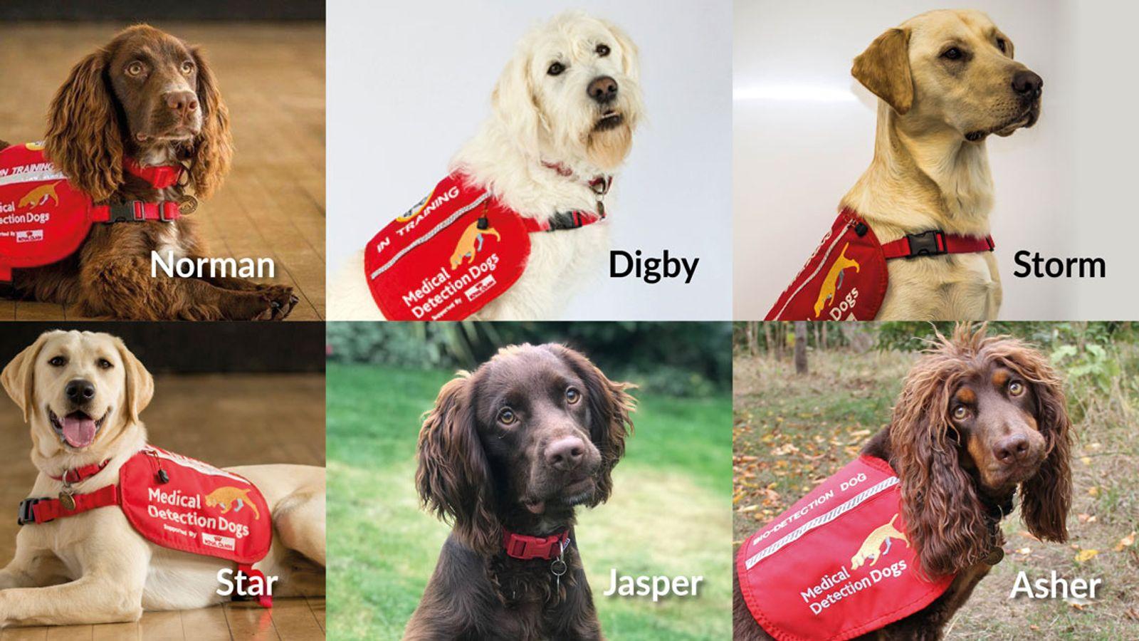 Britanicii antrenează câini pentru a depista bolnavii de Covid-19