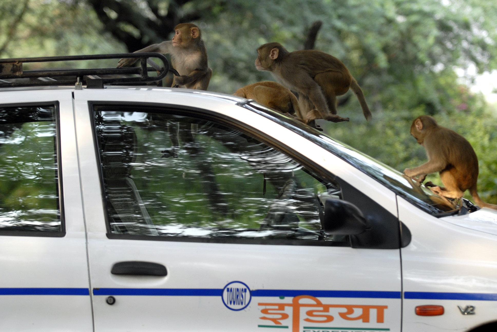 Teste Covid-19 furate de maimuțe, după ce au atacat un lucrător medical