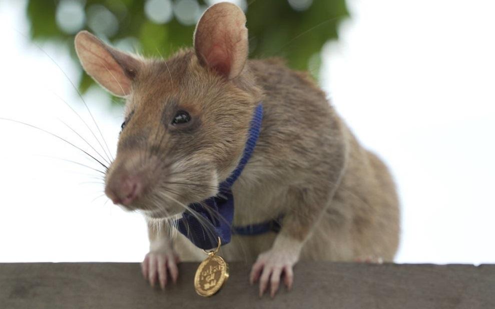 VIDEO| Magawa, primul șobolan premiat cu aur pentru detectarea minelor terestre