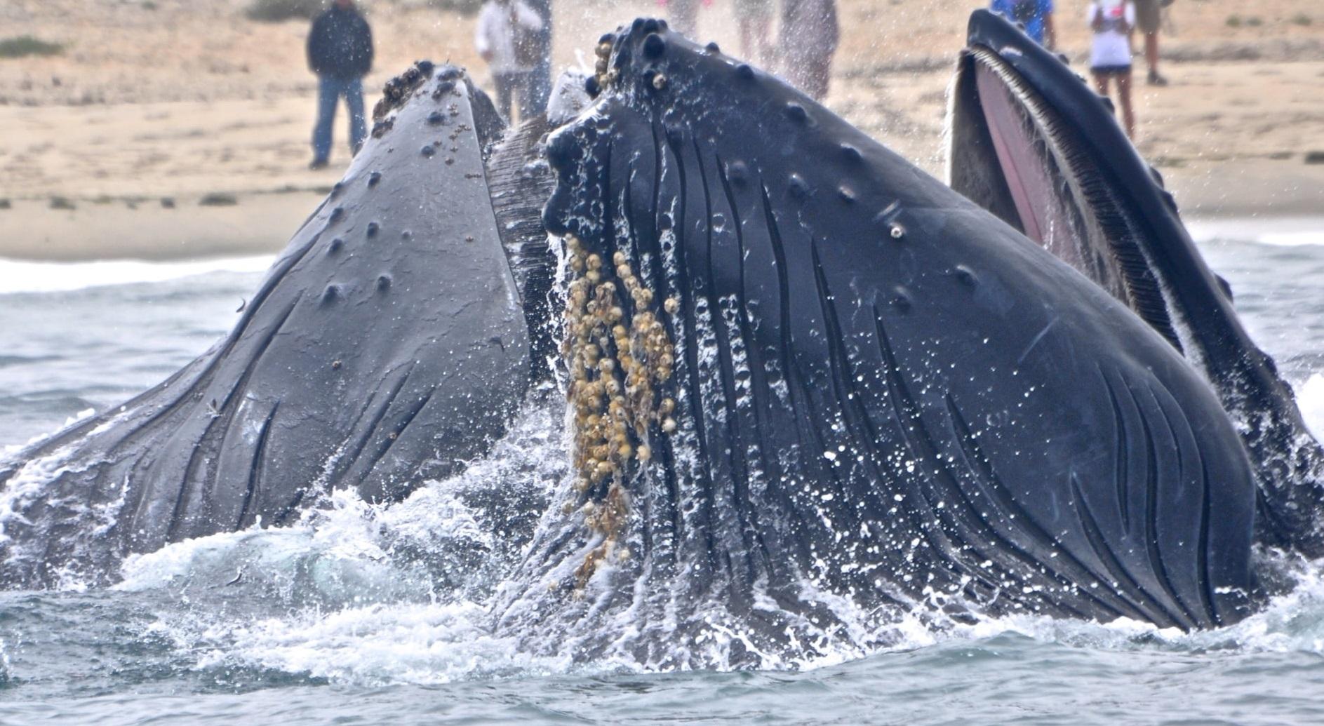 Balenele cu cioc refuză să părăsească un lac scoțian, înainte de un exercițiu NATO