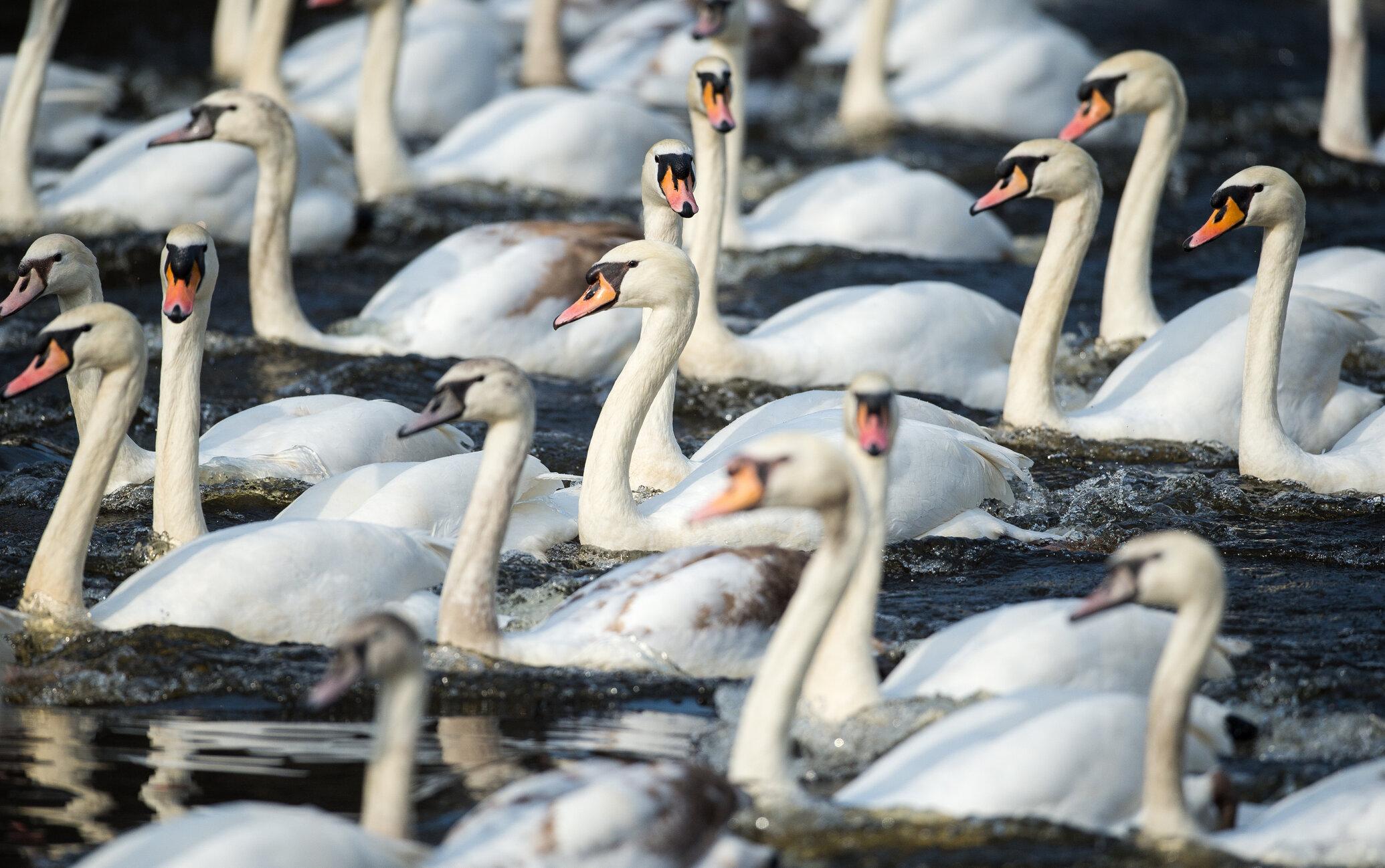 Autoritățile belgiene izolează lebedele din Bruges, de teama epidemiei de gripă aviară