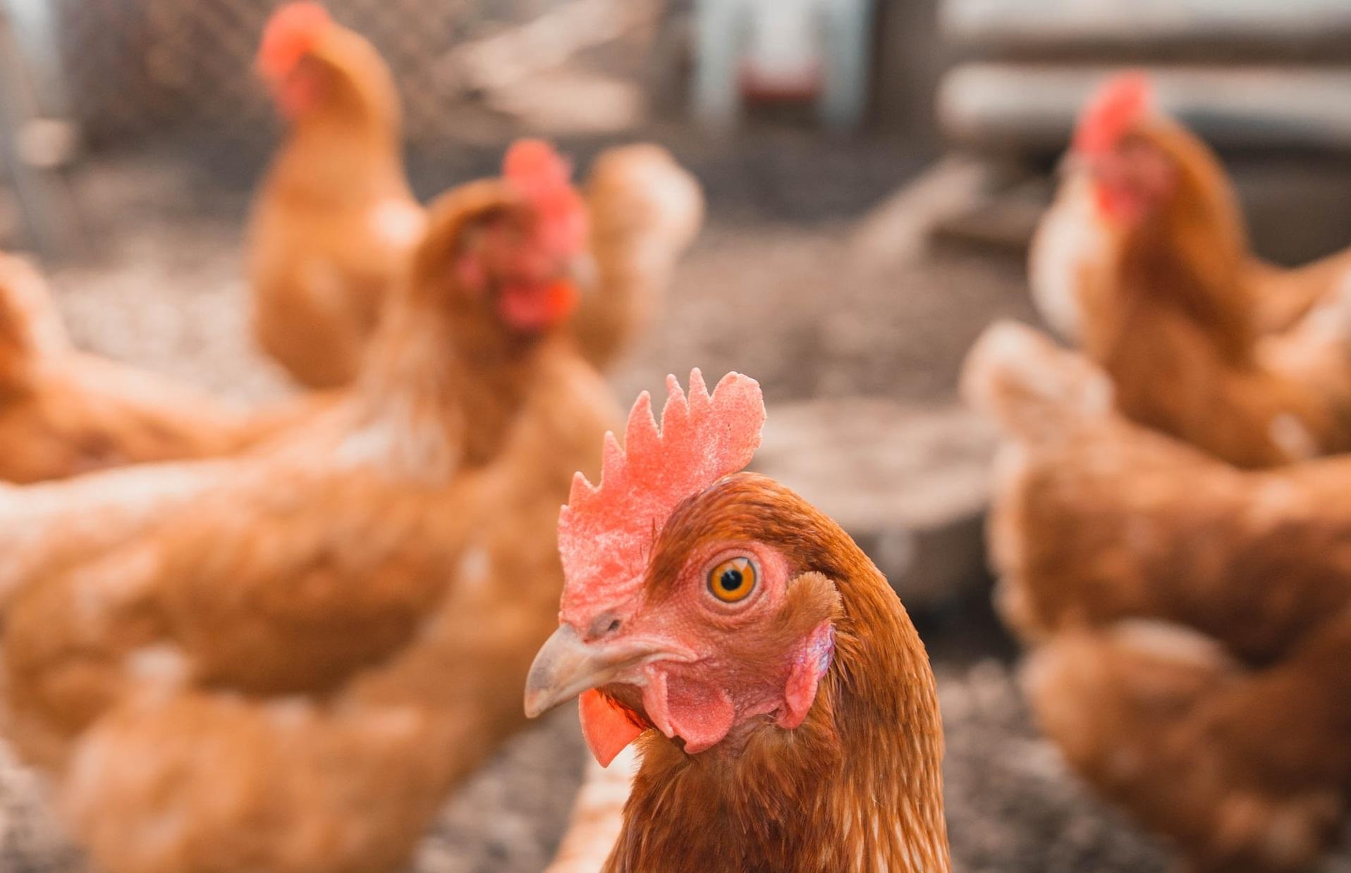 Franța impune izolare și pentru păsările de curte. Găinile nu au voie să iasă din coteț, din cauza gripei aviare