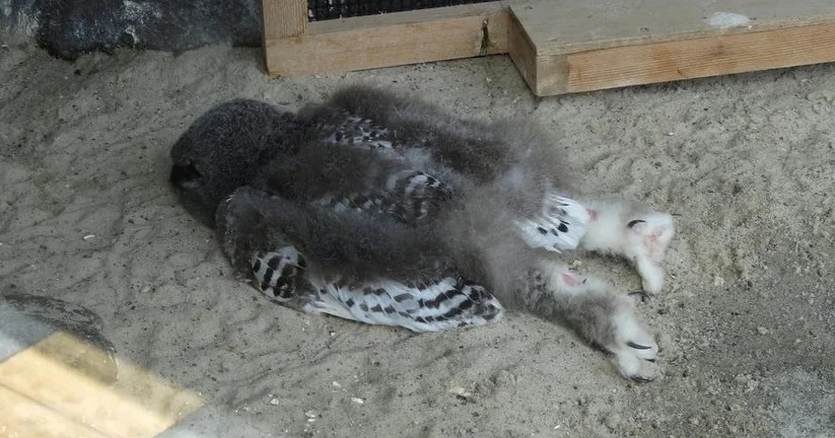 """FOTO  Puii de bufniță dorm """"pe burtă"""", la fel ca oamenii"""