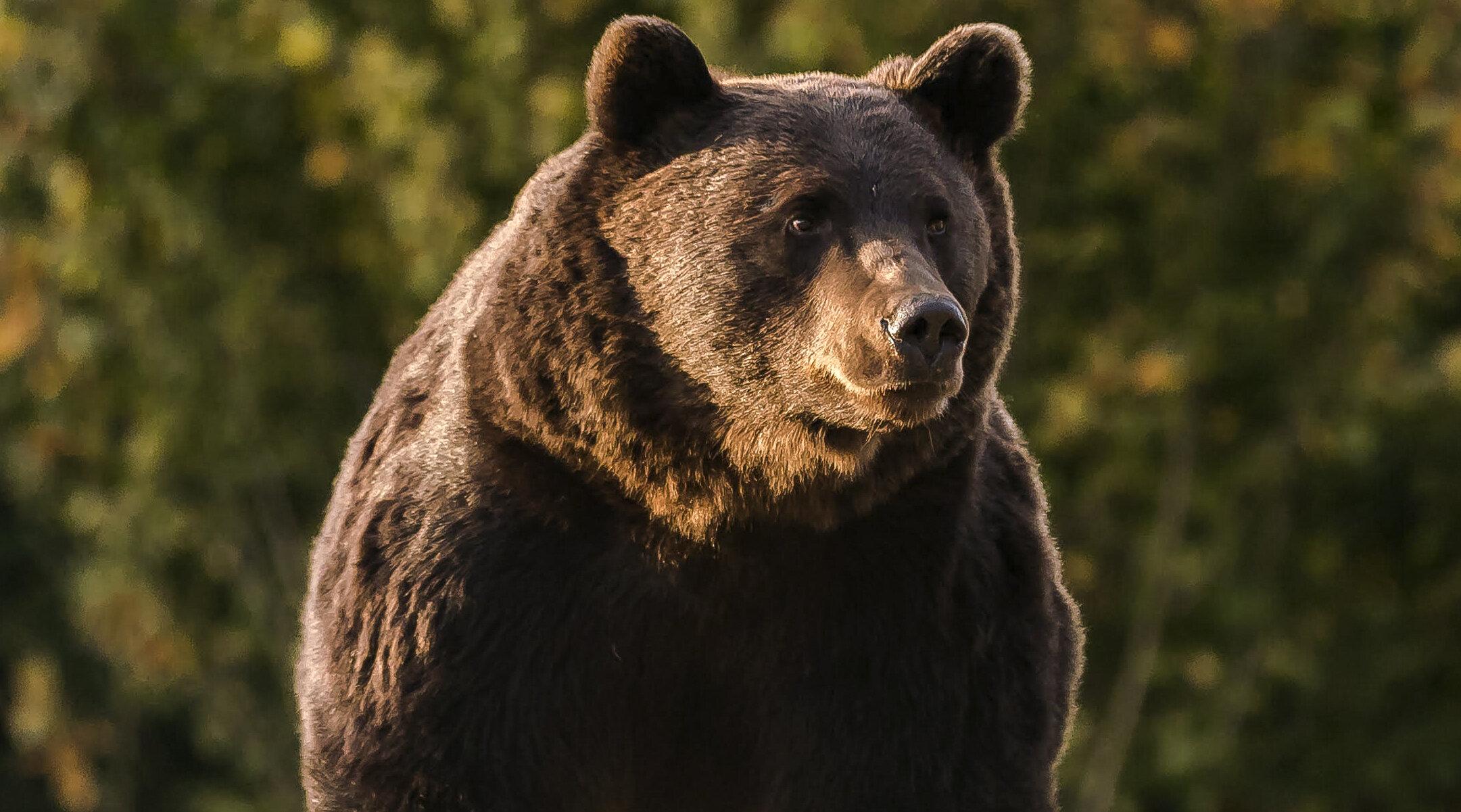 Vânătoarea de urși este interzisă din 2016, iar Arthur se afla într-o zonă protejată. Totuși, a fost ucis
