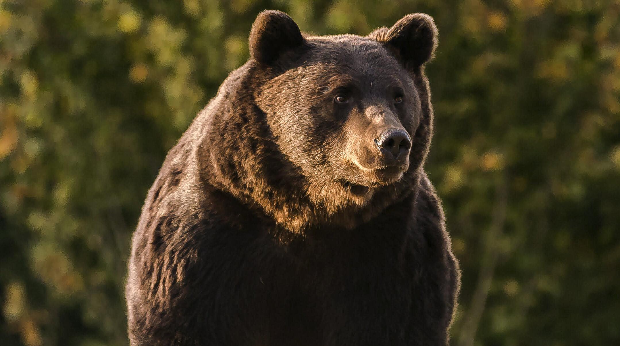 Paris Match: Prințul din Liechtenstein l-a sacrificat pe Arthur, cel mai mare urs din România