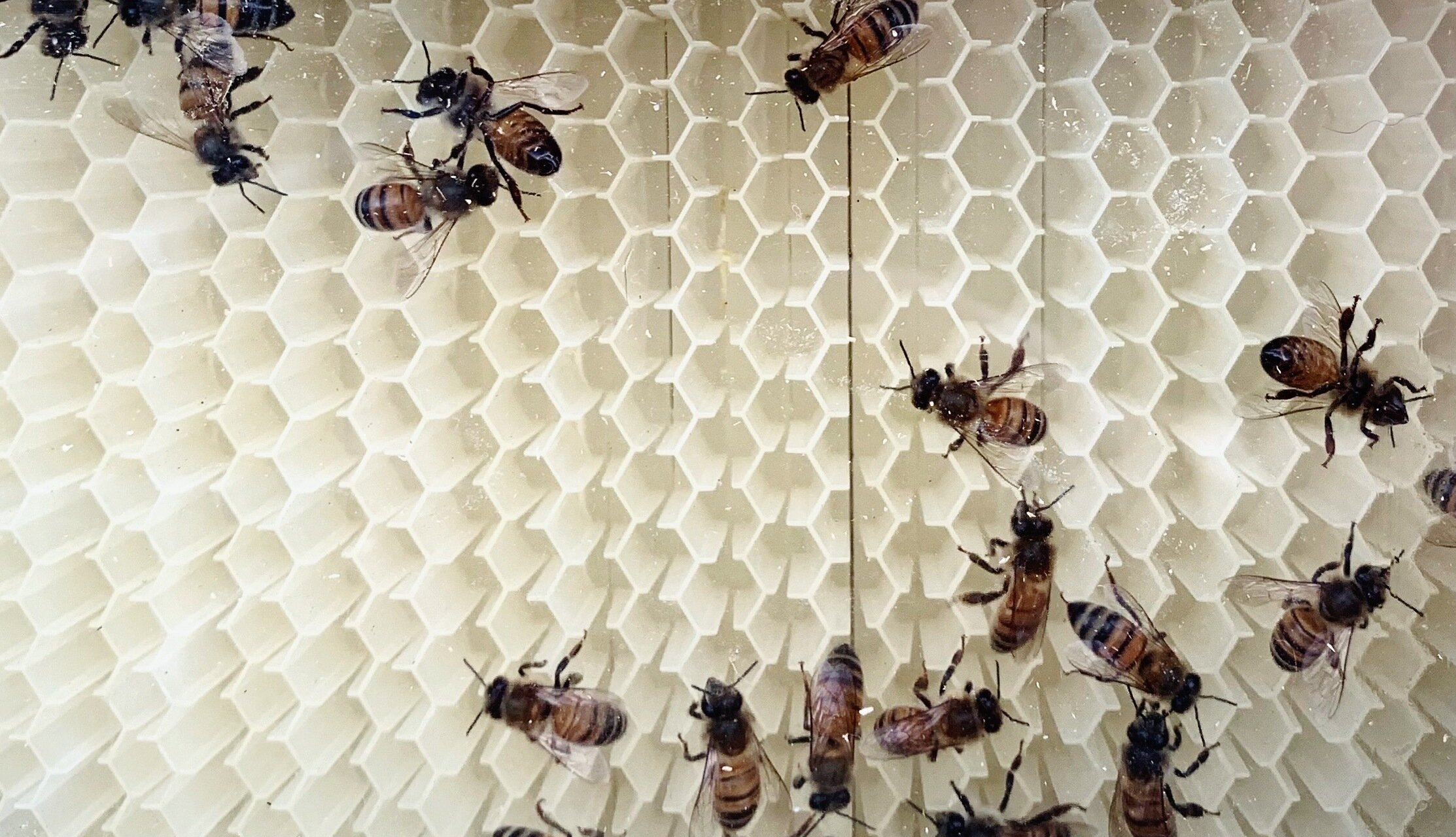Olandezii au antrenat albine pentru a depista persoanele infectate cu SARS-Cov-2
