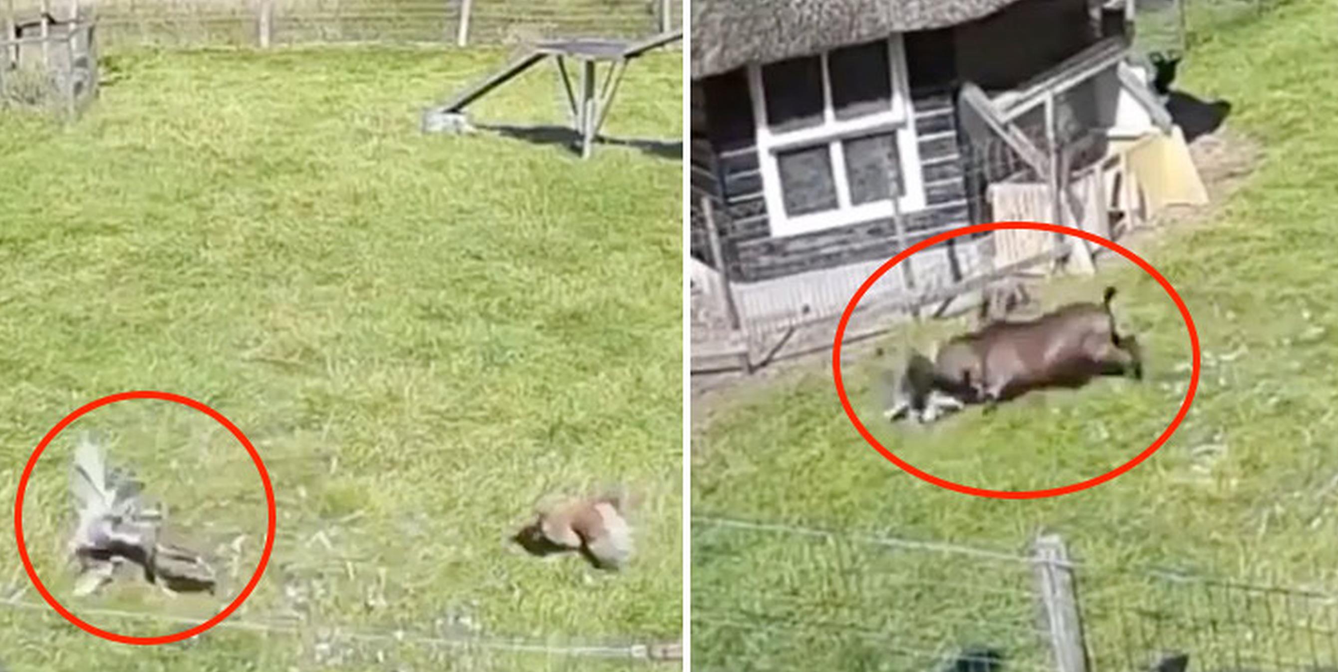 VIDEO  Un cocoș și o capră salvează o găină din ghearele unui vultur. Și nu este o poveste Disney